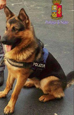 Ares, il pastore tedesco che è diventato un cane poliziotto