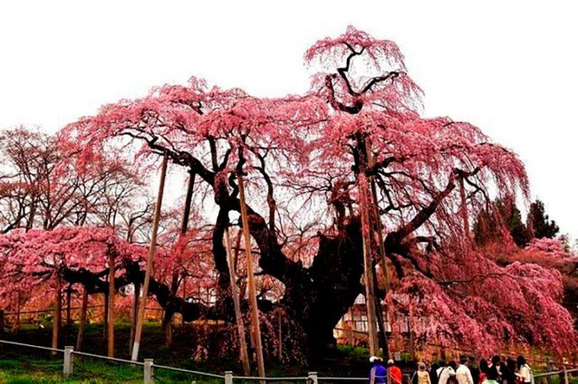 il ciliegio più antico del mondo