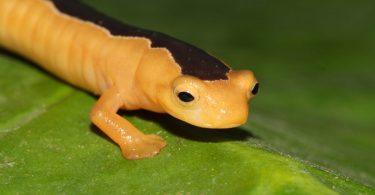 La salamandra di Jackson