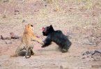 tigre-orsa-scontro-epico