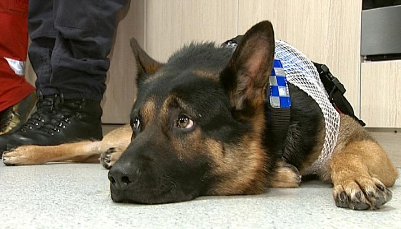 cane-poliziotto-accoltellato-alla-gola-e-salvato-dalla-trasfusione-di-un-collega-2