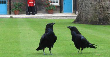 i-corvi-della-torre-di-londra-tra-superstizione-e-storia