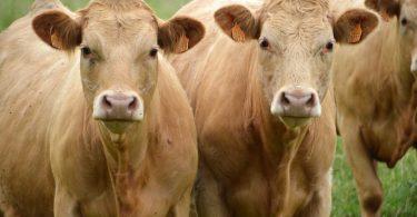 una-giornata-dedicata-alle-mucche