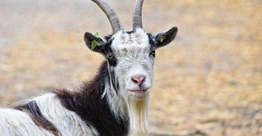 le-capre-riconoscono-le-espressioni-del-volto-umano