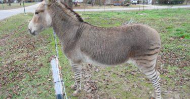 Zonkey: puledro metà zebra e metà asino