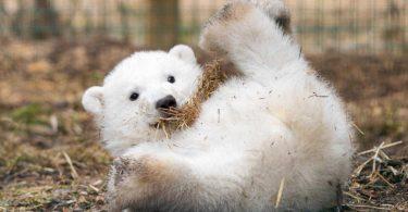 L'orso polare Hamish compie un anno