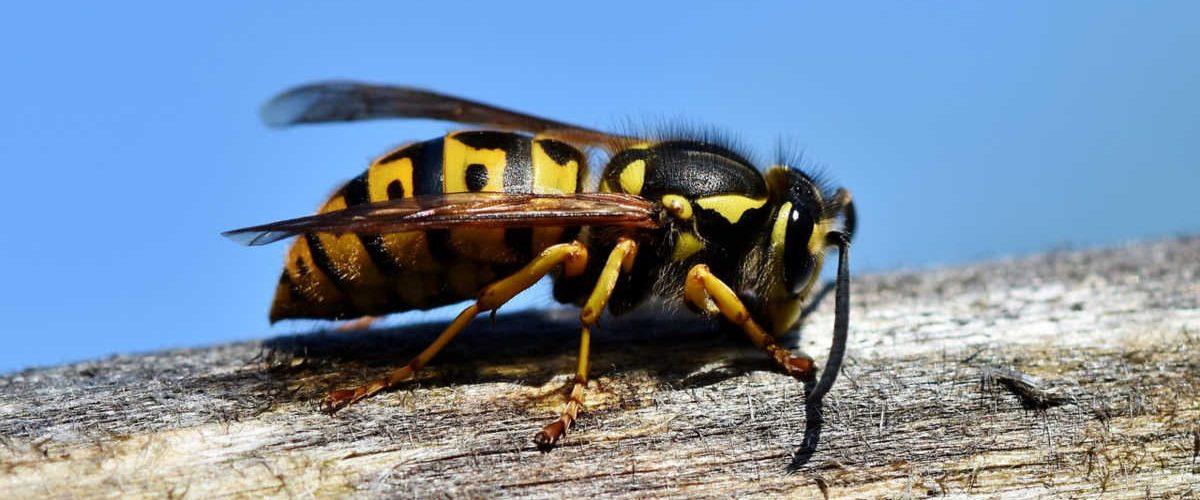 veleno-delle-vespe-come-antibiotico