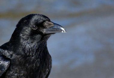 I corvi possono valutare il peso tramite osservazione