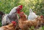 Pollaio Sociale: adotta una gallina in cambio di uova