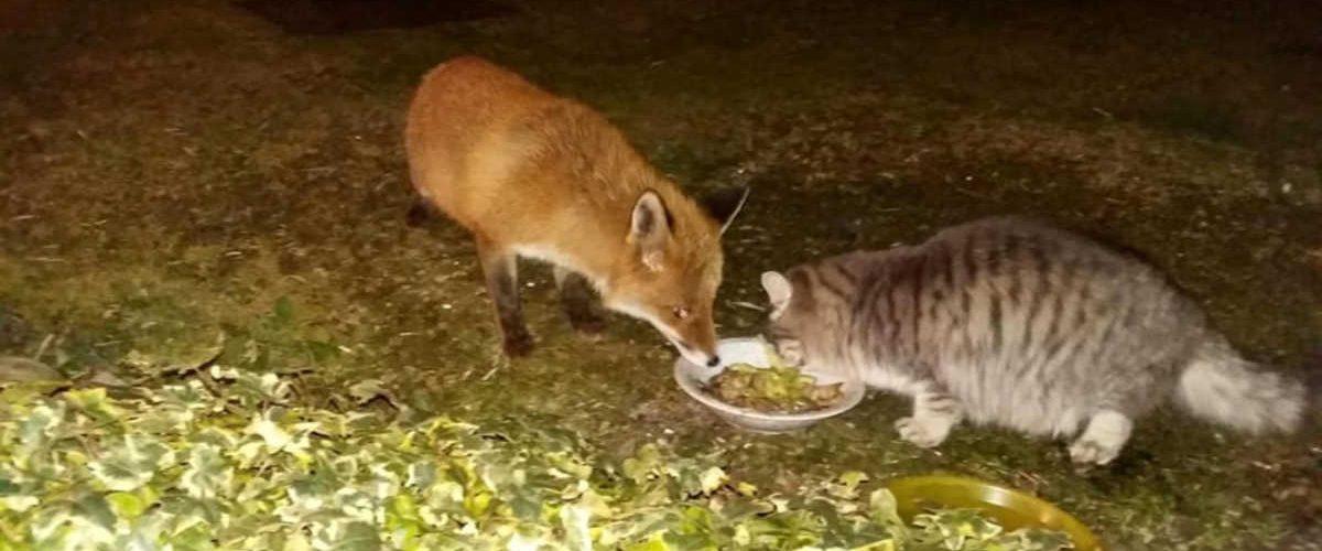 Il gatto e la volpe diventano davvero amici inseparabili