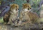 Due ghepardi sono nati grazie alla fecondazione in vitro